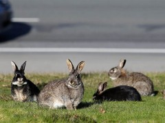 Calicivirus released to control wild rabbits image