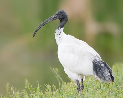 Ibis numbers under scrutiny image